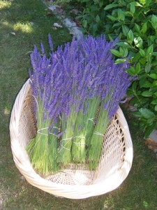 fresh lavender in a basket